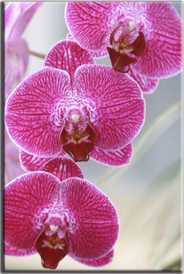 orchidea różowa obraz