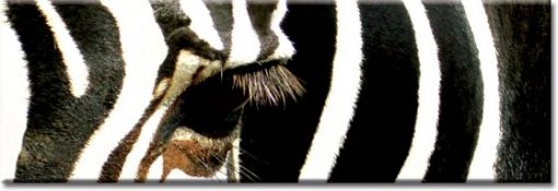 panorama z zebrą